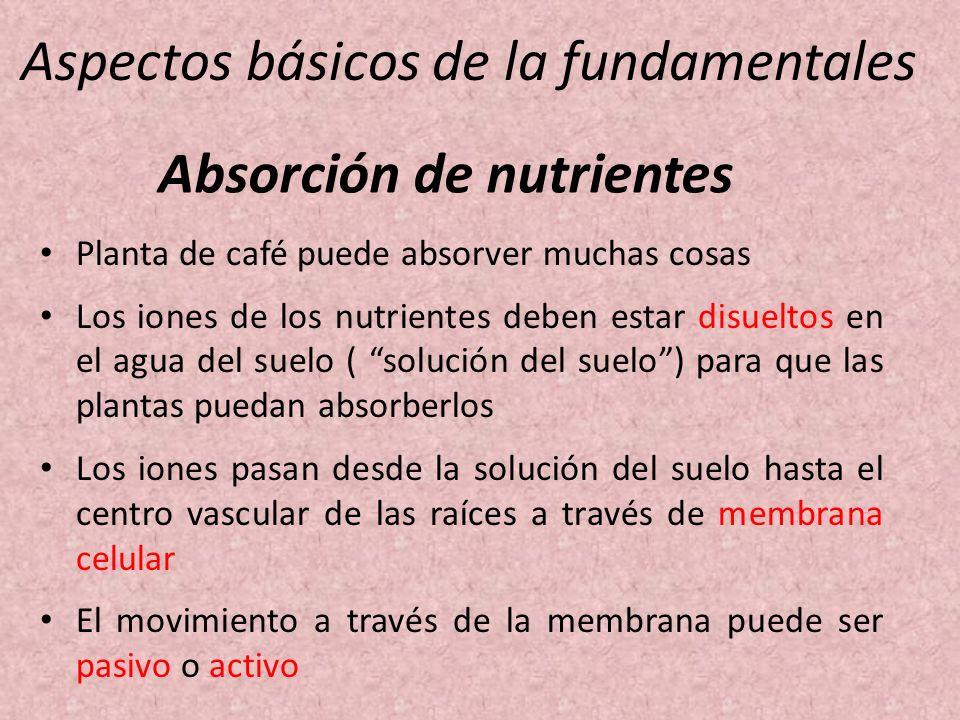 Aspectos básicos de la fundamentales Planta de café puede absorver muchas cosas Los iones de los nutrientes deben estar disueltos en el agua del suelo