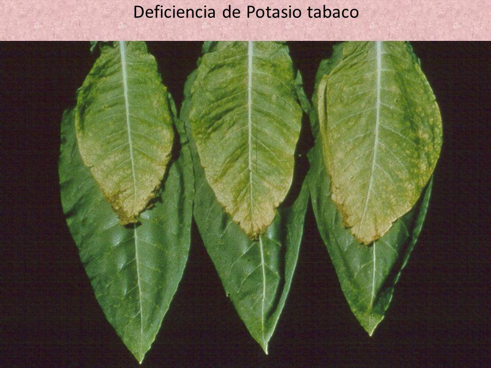 Deficiencia de Potasio tabaco