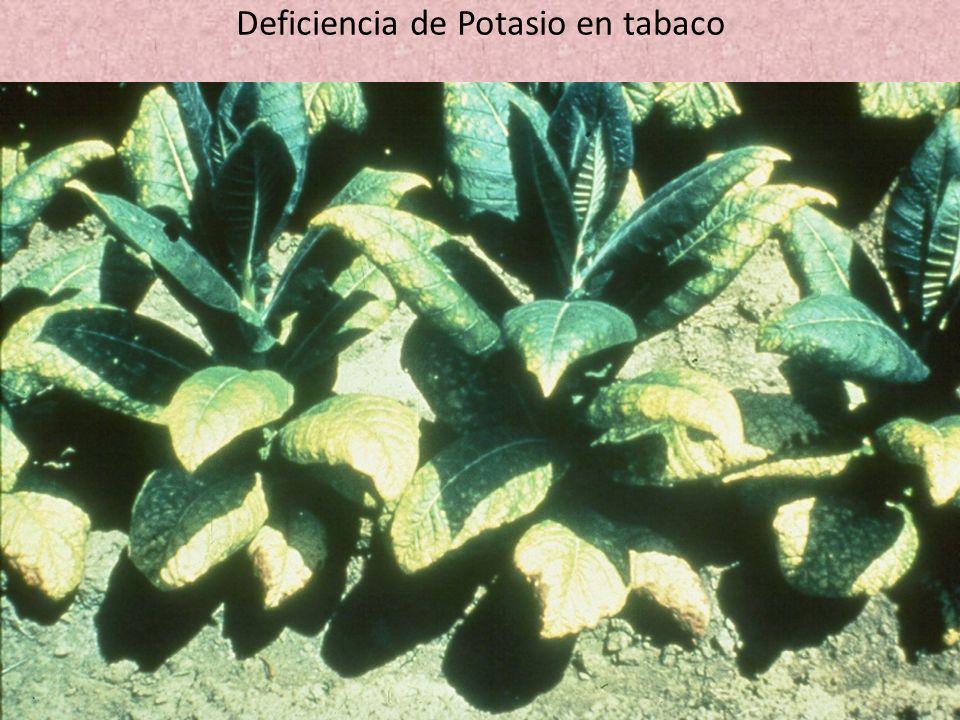Deficiencia de Potasio en tabaco