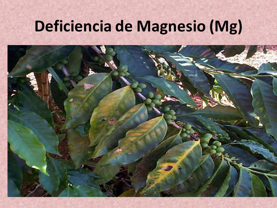 Deficiencia de Magnesio (Mg)