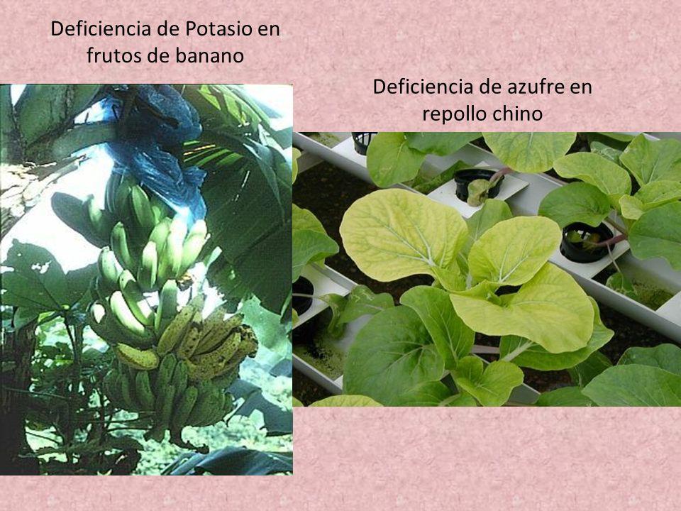 Deficiencia de Potasio en frutos de banano Deficiencia de azufre en repollo chino