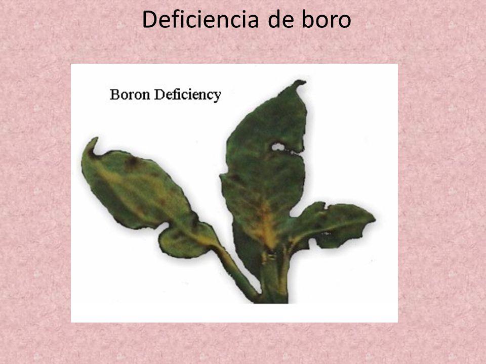 Deficiencia de boro