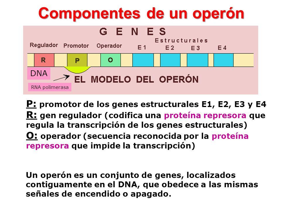 P: promotor de los genes estructurales E1, E2, E3 y E4 R: gen regulador (codifica una proteína represora que regula la transcripción de los genes estr