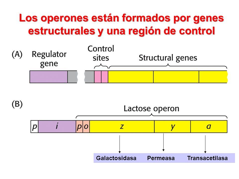 Los operones están formados por genes estructurales y una región de control Galactosidasa Permeasa Transacetilasa