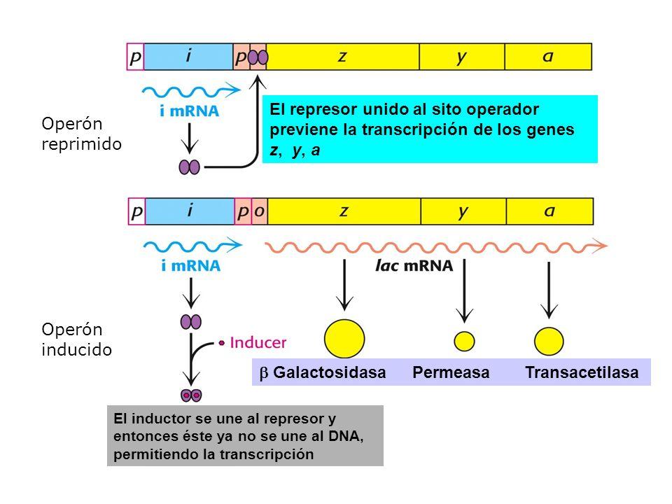 El inductor se une al represor y entonces éste ya no se une al DNA, permitiendo la transcripción Galactosidasa Permeasa Transacetilasa El represor uni