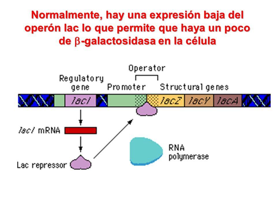 Normalmente, hay una expresión baja del operón lac lo que permite que haya un poco de -galactosidasa en la célula