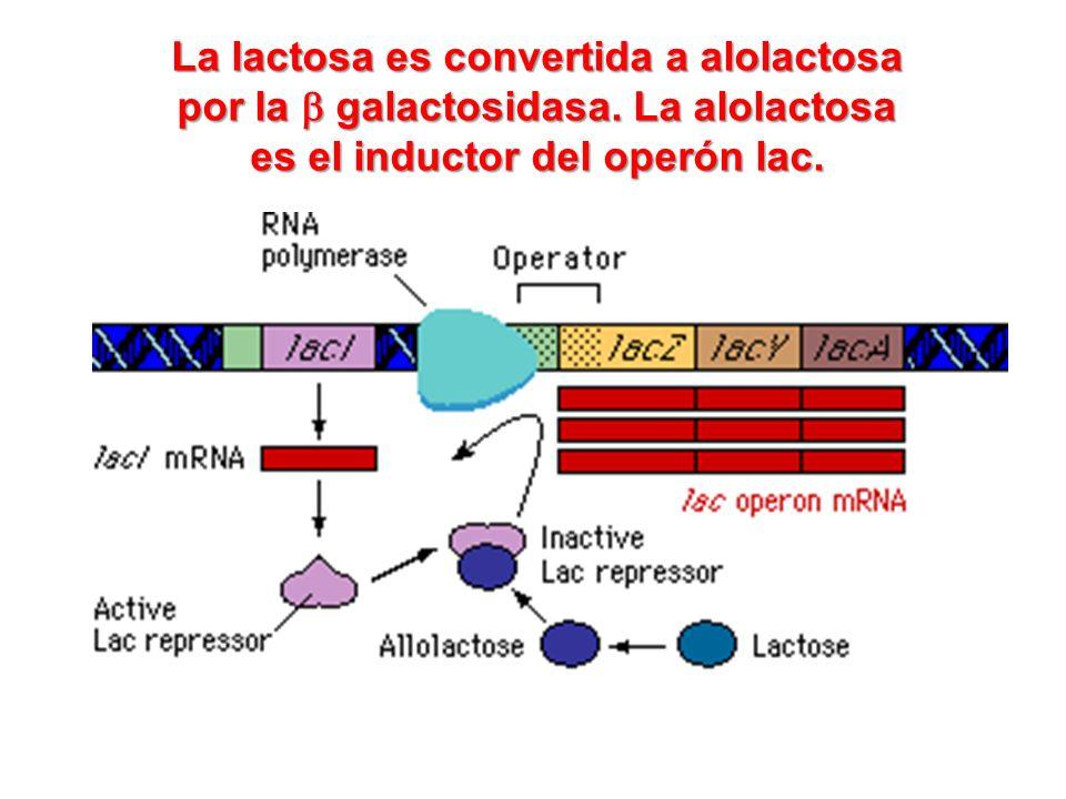 La lactosa es convertida a alolactosa por la galactosidasa. La alolactosa es el inductor del operón lac.