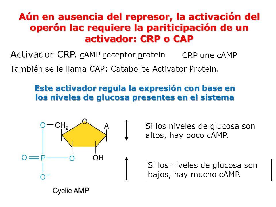 Aún en ausencia del represor, la activación del operón lac requiere la pariticipación de un activador: CRP o CAP Activador CRP. cAMP receptor protein
