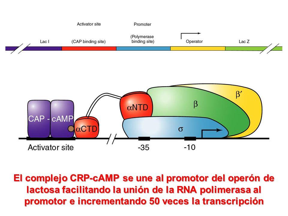 El complejo CRP-cAMP se une al promotor del operón de lactosa facilitando la unión de la RNA polimerasa al promotor e incrementando 50 veces la transc