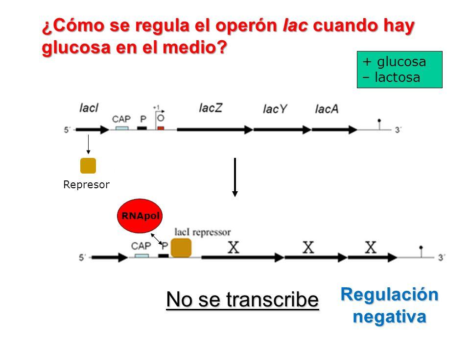 RNApol No se transcribe ¿Cómo se regula el operón lac cuando hay glucosa en el medio? Regulación negativa Represor + glucosa – lactosa