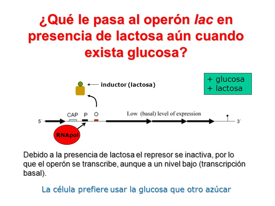 + glucosa + lactosa Debido a la presencia de lactosa el represor se inactiva, por lo que el operón se transcribe, aunque a un nivel bajo (transcripció