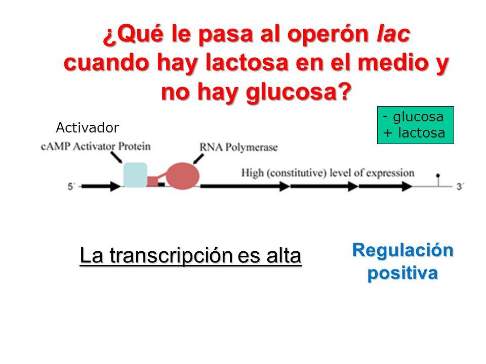 Regulación positiva La transcripción es alta Activador ¿Qué le pasa al operón lac cuando hay lactosa en el medio y no hay glucosa? - glucosa + lactosa