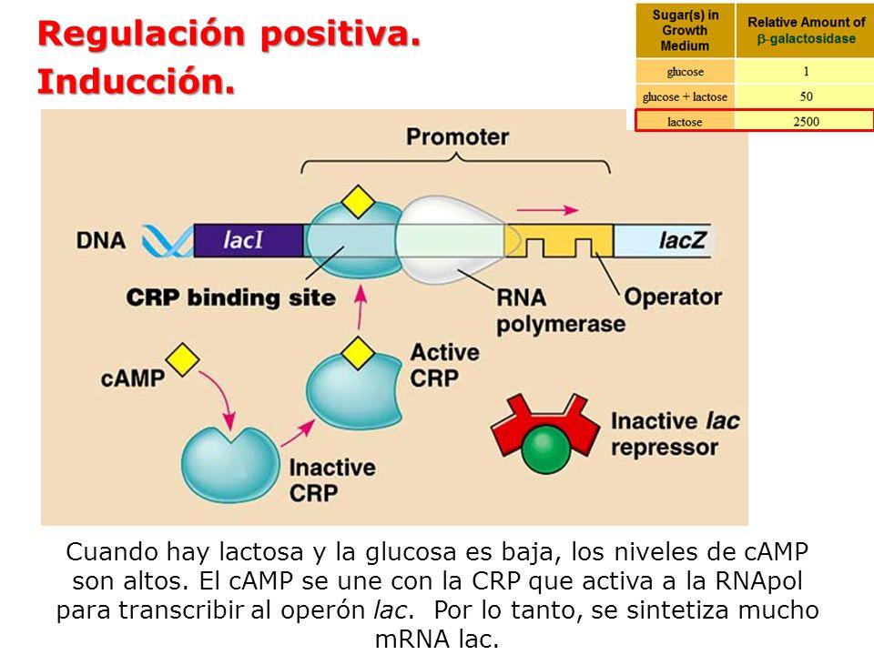 Regulación positiva. Inducción. Cuando hay lactosa y la glucosa es baja, los niveles de cAMP son altos. El cAMP se une con la CRP que activa a la RNAp