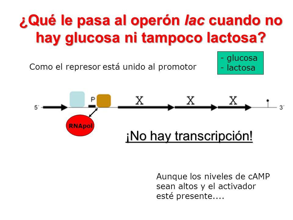 - glucosa - lactosa ¡No hay transcripción! ¿Qué le pasa al operón lac cuando no hay glucosa ni tampoco lactosa? Como el represor está unido al promoto