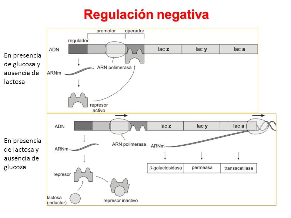 Regulación negativa En presencia de lactosa y ausencia de glucosa En presencia de glucosa y ausencia de lactosa