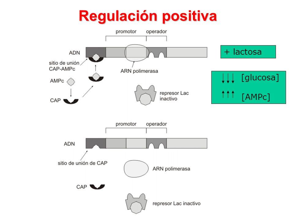 Regulación positiva [glucosa] [AMPc] + lactosa