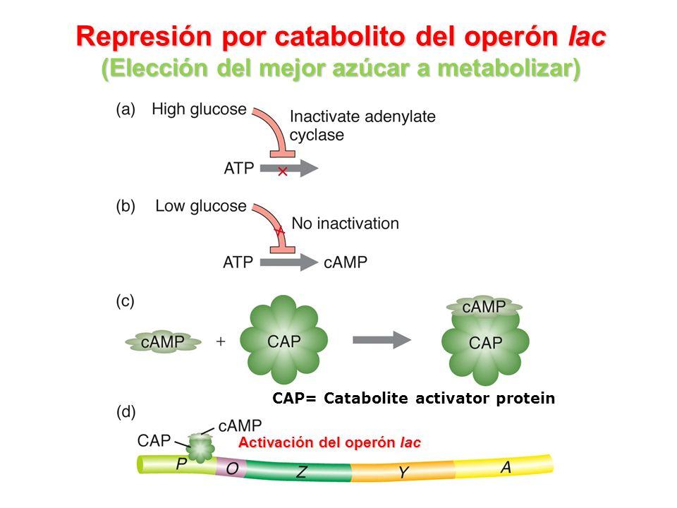 Represión por catabolito del operón lac (Elección del mejor azúcar a metabolizar) CAP= Catabolite activator protein Activación del operón lac