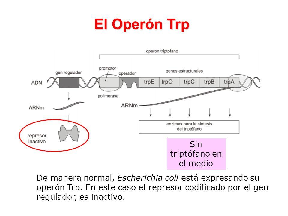 El Operón Trp De manera normal, Escherichia coli está expresando su operón Trp. En este caso el represor codificado por el gen regulador, es inactivo.
