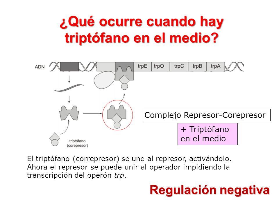 Regulación negativa Complejo Represor-Corepresor + Triptófano en el medio ¿Qué ocurre cuando hay triptófano en el medio? El triptófano (correpresor) s