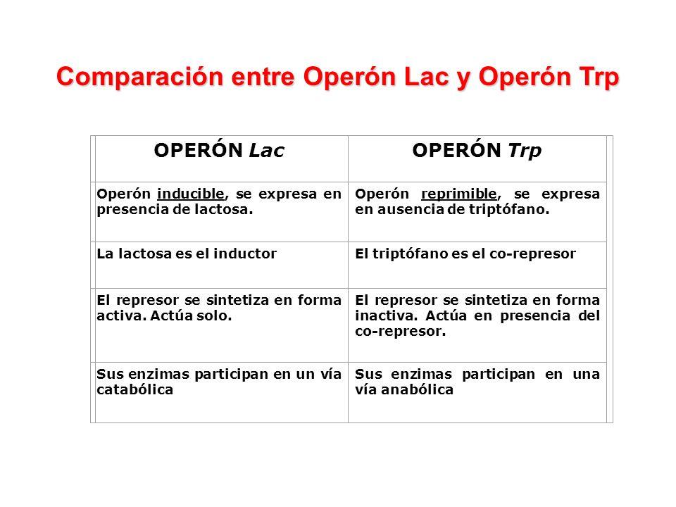 OPERÓN LacOPERÓN Trp Operón inducible, se expresa en presencia de lactosa. Operón reprimible, se expresa en ausencia de triptófano. La lactosa es el i