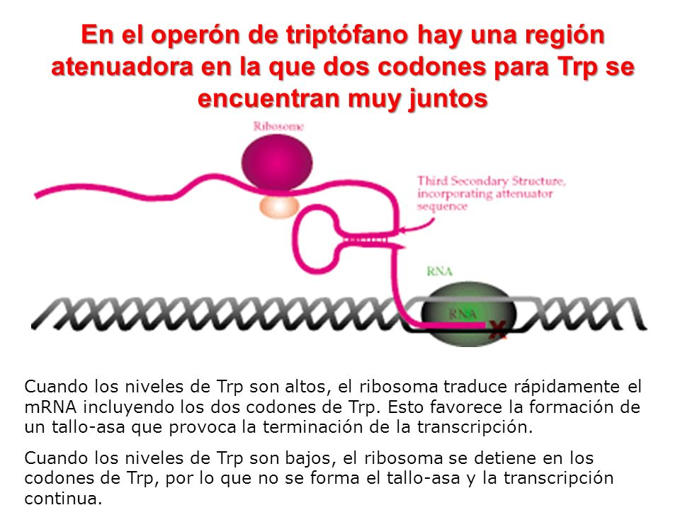 En el operón de triptófano hay una región atenuadora en la que dos codones para Trp se encuentran muy juntos Cuando los niveles de Trp son altos, el r