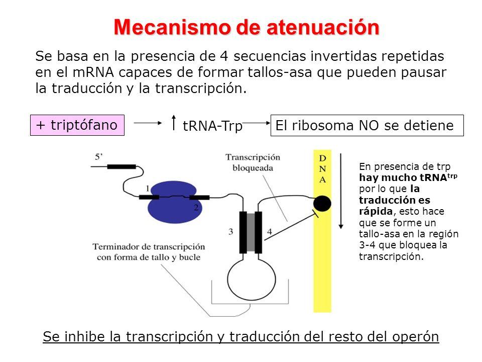 Mecanismo de atenuación Se inhibe la transcripción y traducción del resto del operón + triptófano tRNA-Trp El ribosoma NO se detiene Se basa en la pre