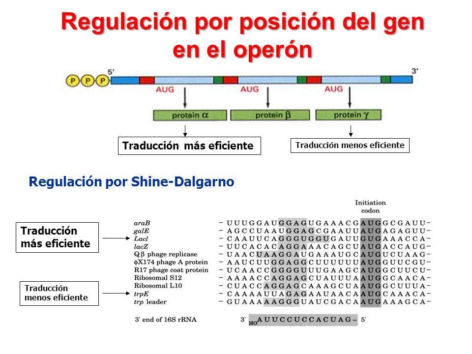 Regulación por posición del gen en el operón Traducción más eficiente Traducción menos eficiente Regulación por Shine-Dalgarno Traducción más eficient