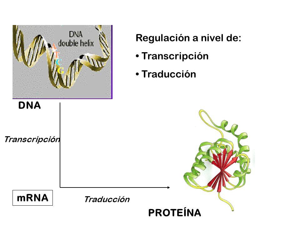 Los genes se expresan con diferente eficiencia y se regulan por distintos mecanismos Regulación transcripcional Aumenta el número de transcritos Resultando en un aumento en la cantidad de proteína