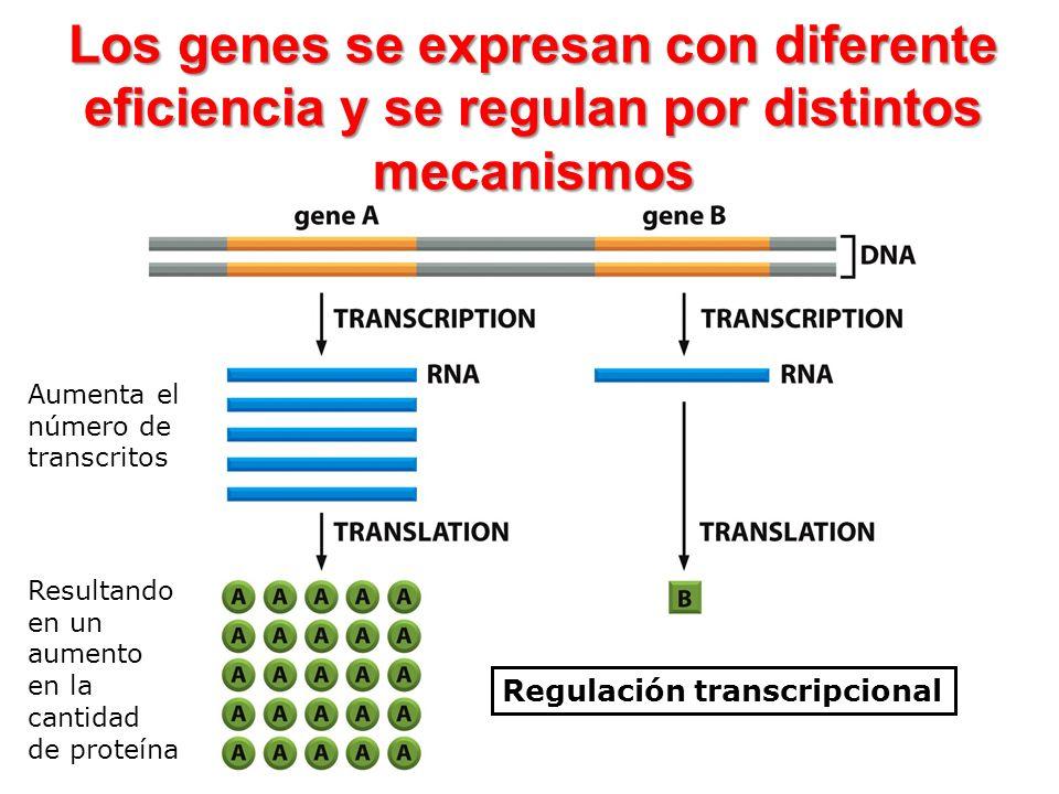 Los genes se expresan con diferente eficiencia y se regulan por distintos mecanismos Regulación transcripcional Aumenta el número de transcritos Resul