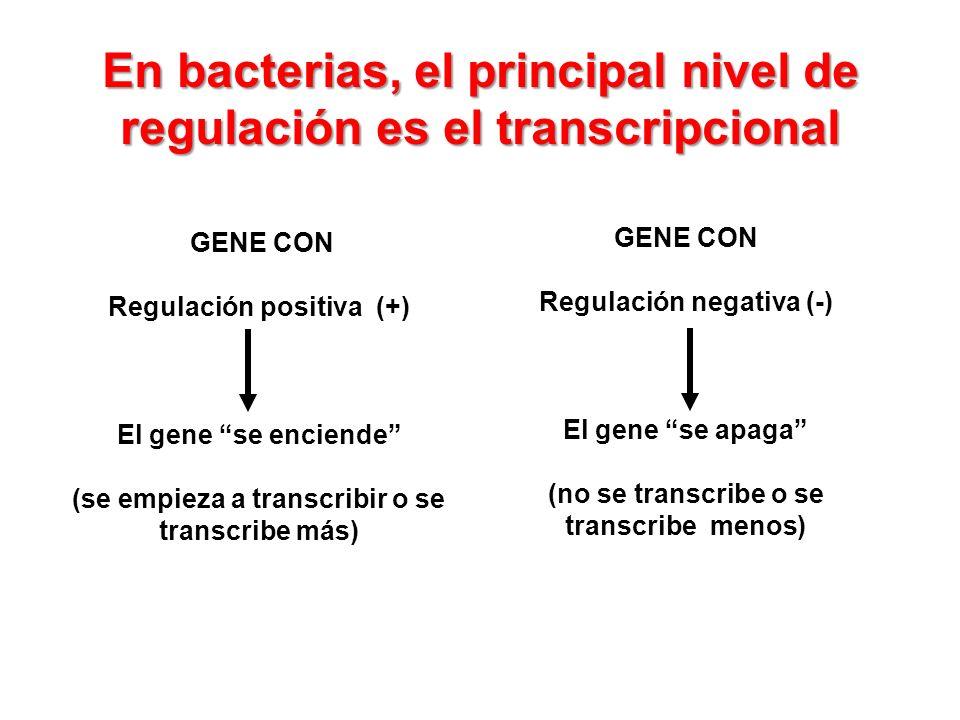 En bacterias, el principal nivel de regulación es el transcripcional GENE CON Regulación positiva (+) El gene se enciende (se empieza a transcribir o