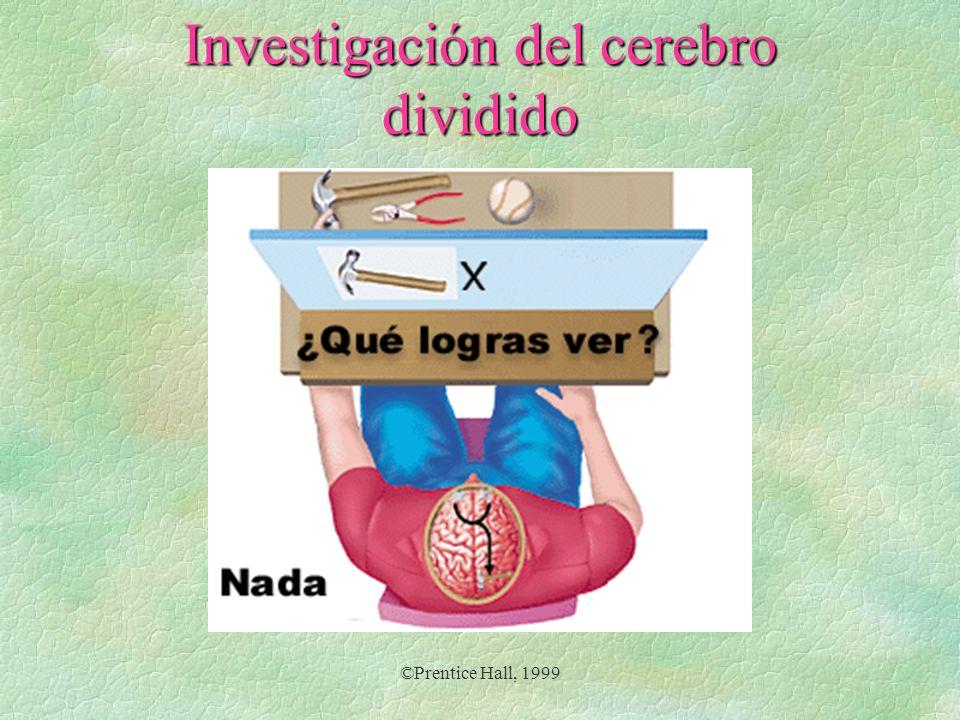 ©Prentice Hall, 1999 Investigación del cerebro dividido