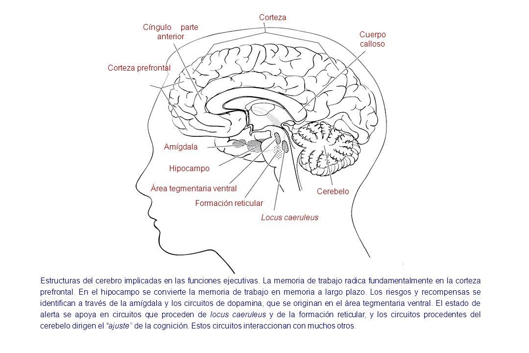 Corteza Cuerpo calloso Cíngulo parte anterior Corteza prefrontal Amígdala Hipocampo Área tegmentaria ventral Formación reticular Locus caeruleus Cereb