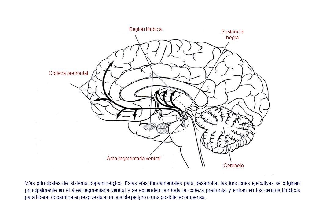 Región límbica Sustancia negra Cerebelo Corteza prefrontal Área tegmentaria ventral Vías principales del sistema dopaminérgico. Estas vías fundamental