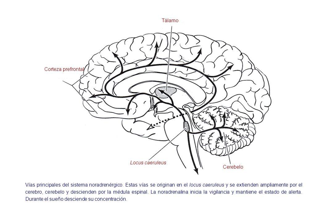 Corteza prefrontal Locus caeruleus Cerebelo Tálamo Vías principales del sistema noradrenérgico. Estas vías se originan en el locus caeruleus y se exti