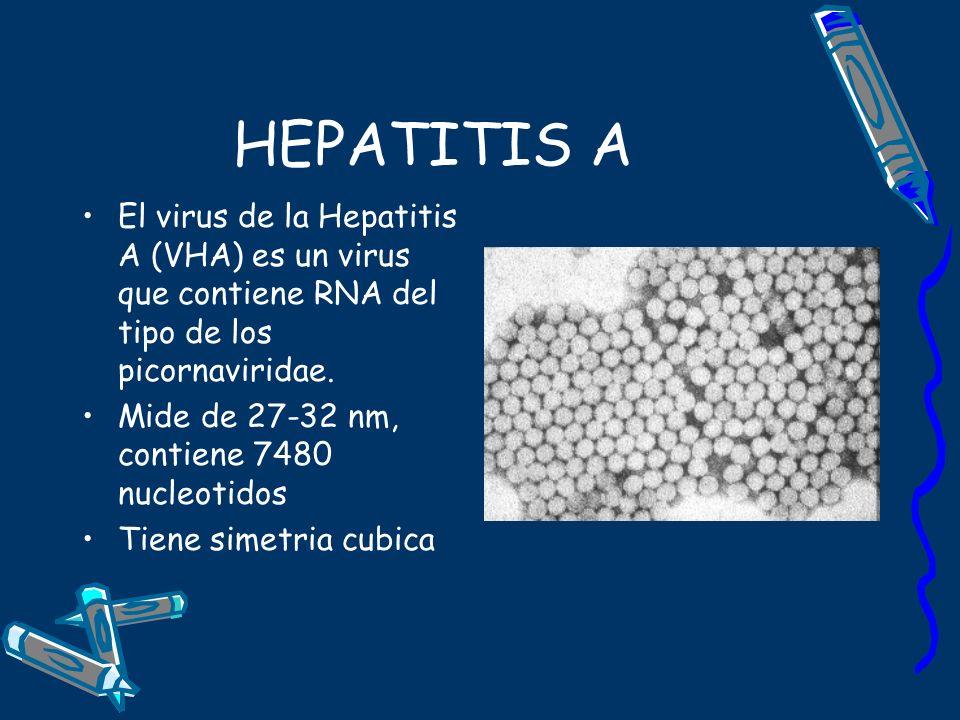 HEPATITIS A El virus de la Hepatitis A (VHA) es un virus que contiene RNA del tipo de los picornaviridae. Mide de 27-32 nm, contiene 7480 nucleotidos
