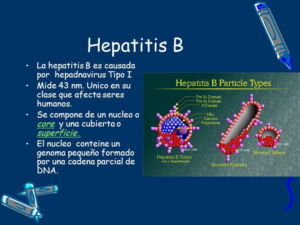 Hepatitis B La hepatitis B es causada por hepadnavirus Tipo I Mide 43 nm. Unico en su clase que afecta seres humanos. Se compone de un nucleo o core y