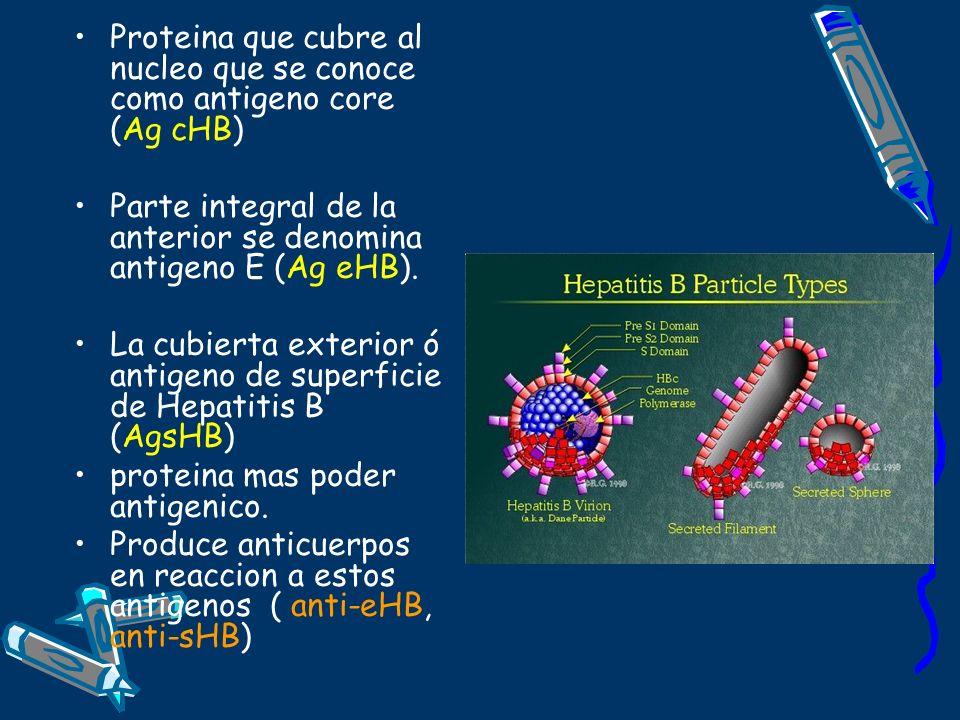 Proteina que cubre al nucleo que se conoce como antigeno core (Ag cHB) Parte integral de la anterior se denomina antigeno E (Ag eHB). La cubierta exte