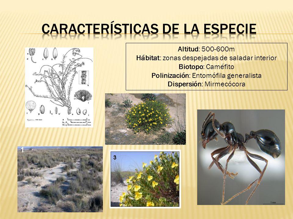 Altitud: 500-600m Hábitat: zonas despejadas de saladar interior Biotopo: Caméfito Polinización: Entomófila generalista Dispersión: Mirmecócora
