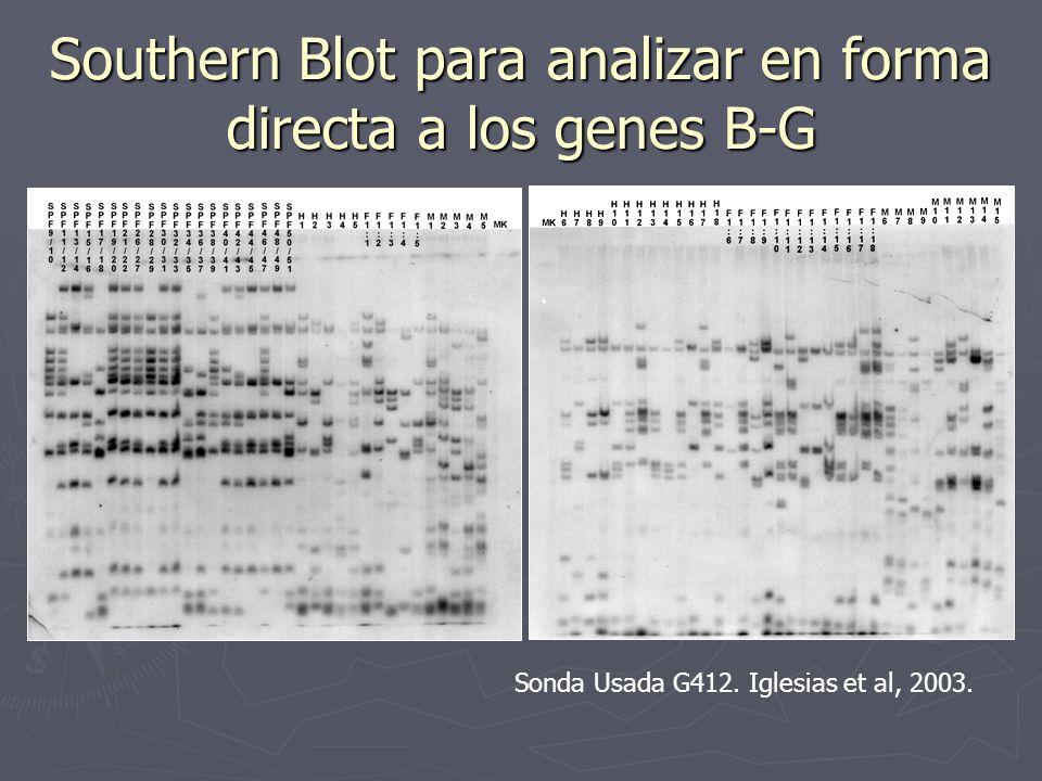 Southern Blot para analizar en forma directa a los genes B-G Sonda Usada G412. Iglesias et al, 2003.