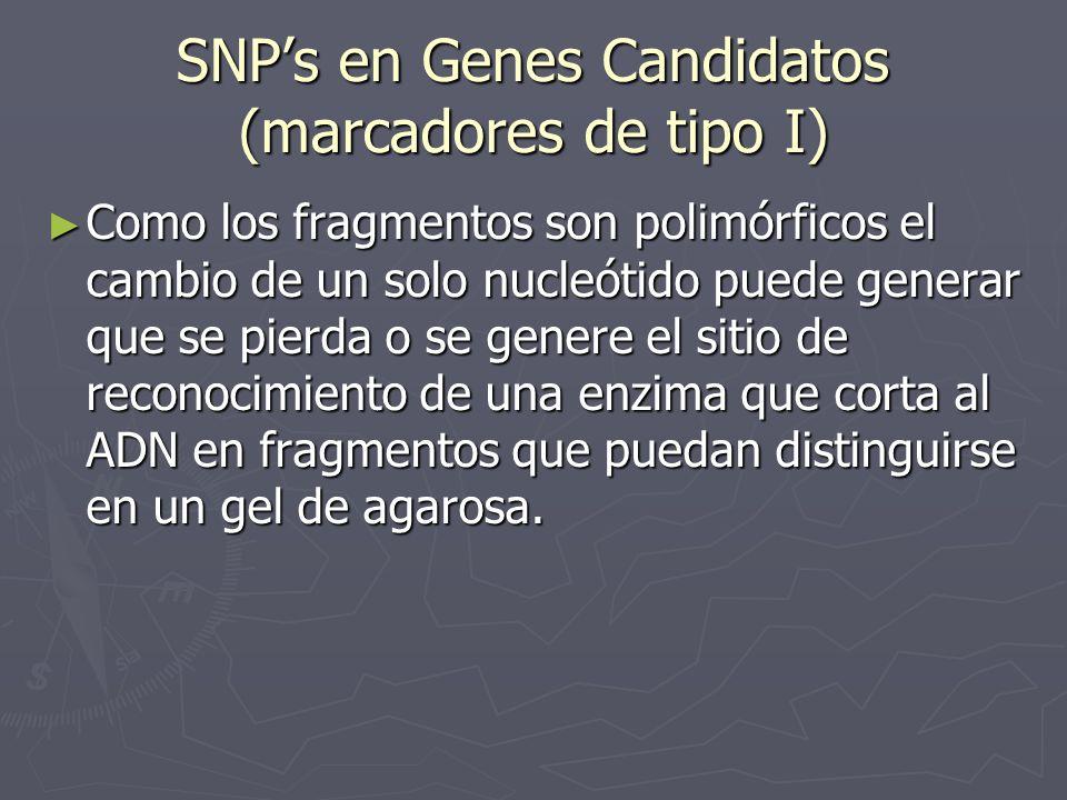SNPs en Genes Candidatos (marcadores de tipo I) Como los fragmentos son polimórficos el cambio de un solo nucleótido puede generar que se pierda o se
