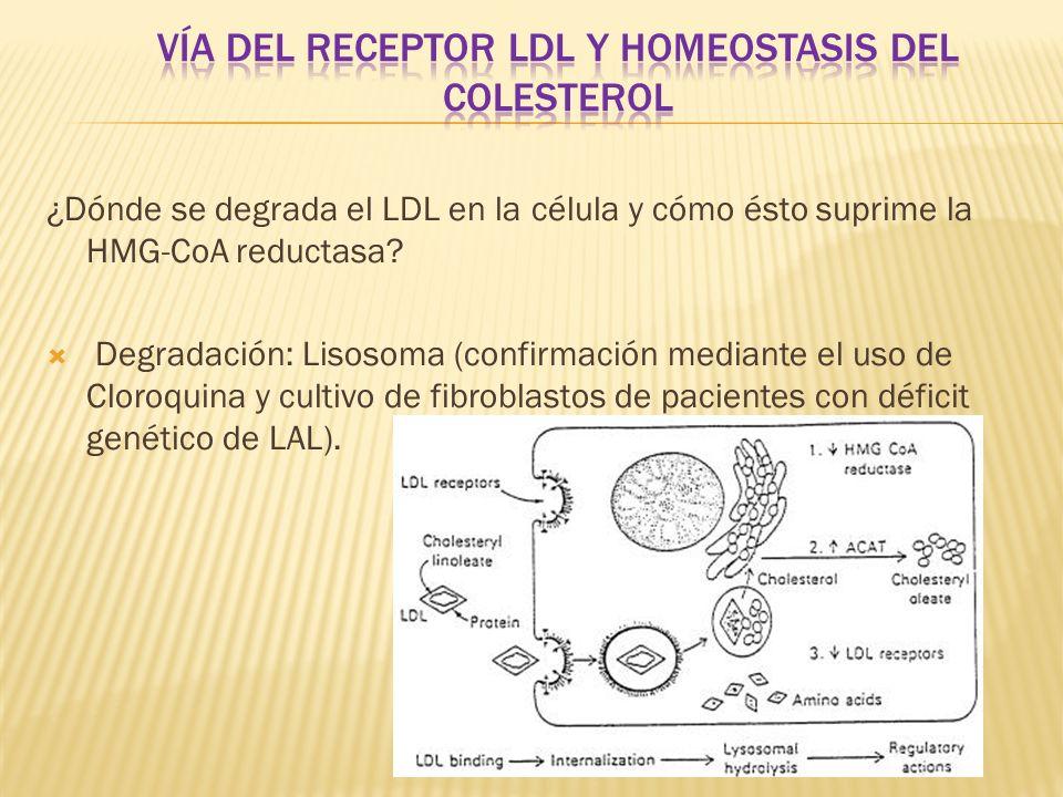 ¿Dónde se degrada el LDL en la célula y cómo ésto suprime la HMG-CoA reductasa? Degradación: Lisosoma (confirmación mediante el uso de Cloroquina y cu