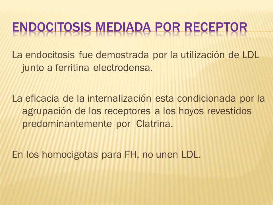 La endocitosis fue demostrada por la utilización de LDL junto a ferritina electrodensa. La eficacia de la internalización esta condicionada por la agr