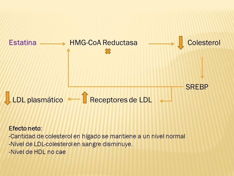 SREBP HMG-CoA ReductasaEstatinaColesterol Receptores de LDLLDL plasmático Efecto neto: -Cantidad de colesterol en hígado se mantiene a un nivel normal