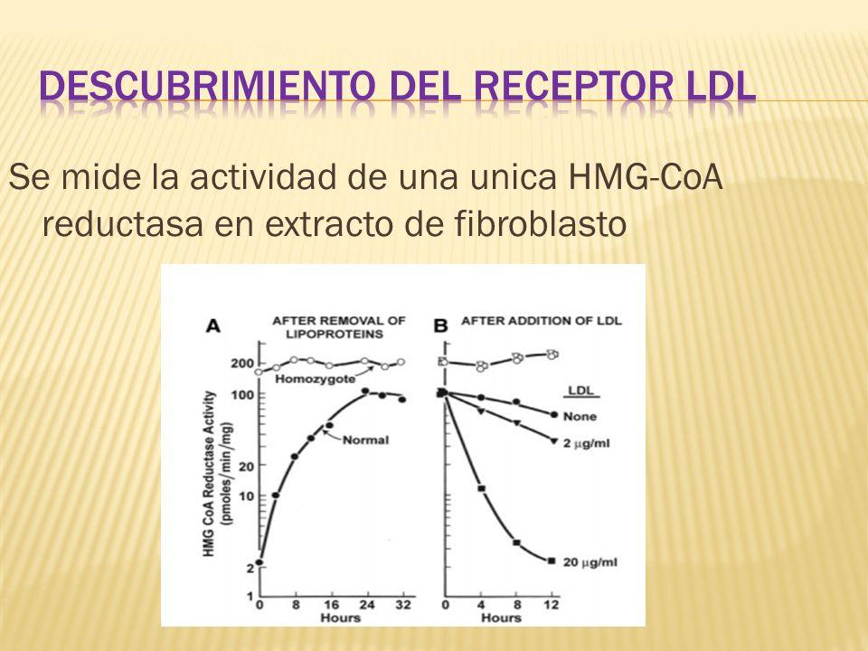 Se mide la actividad de una unica HMG-CoA reductasa en extracto de fibroblasto