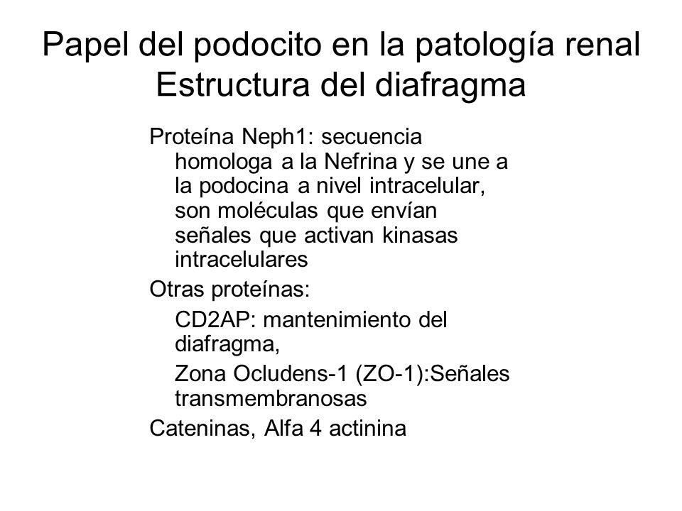 Papel del podocito en la patología renal Estructura del diafragma Proteína Neph1: secuencia homologa a la Nefrina y se une a la podocina a nivel intra