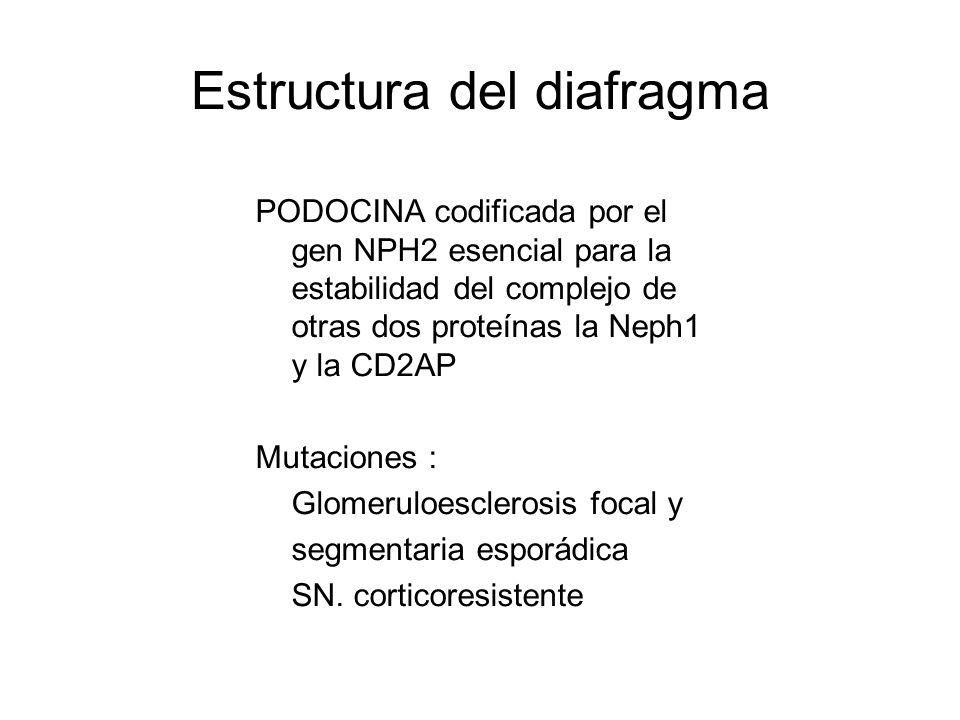 Estructura del diafragma PODOCINA codificada por el gen NPH2 esencial para la estabilidad del complejo de otras dos proteínas la Neph1 y la CD2AP Muta