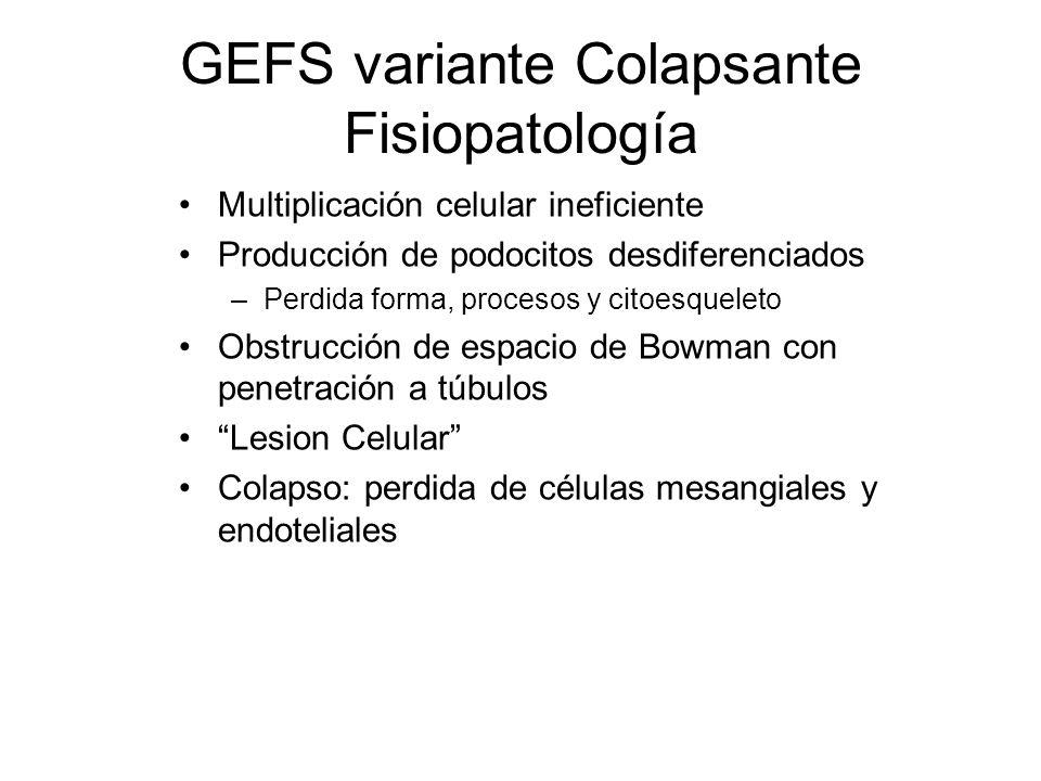 GEFS variante Colapsante Fisiopatología Multiplicación celular ineficiente Producción de podocitos desdiferenciados –Perdida forma, procesos y citoesq