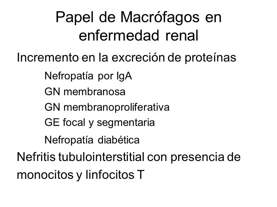 Papel de Macrófagos en enfermedad renal Incremento en la excreción de proteínas Nefropatía por IgA GN membranosa GN membranoproliferativa GE focal y s