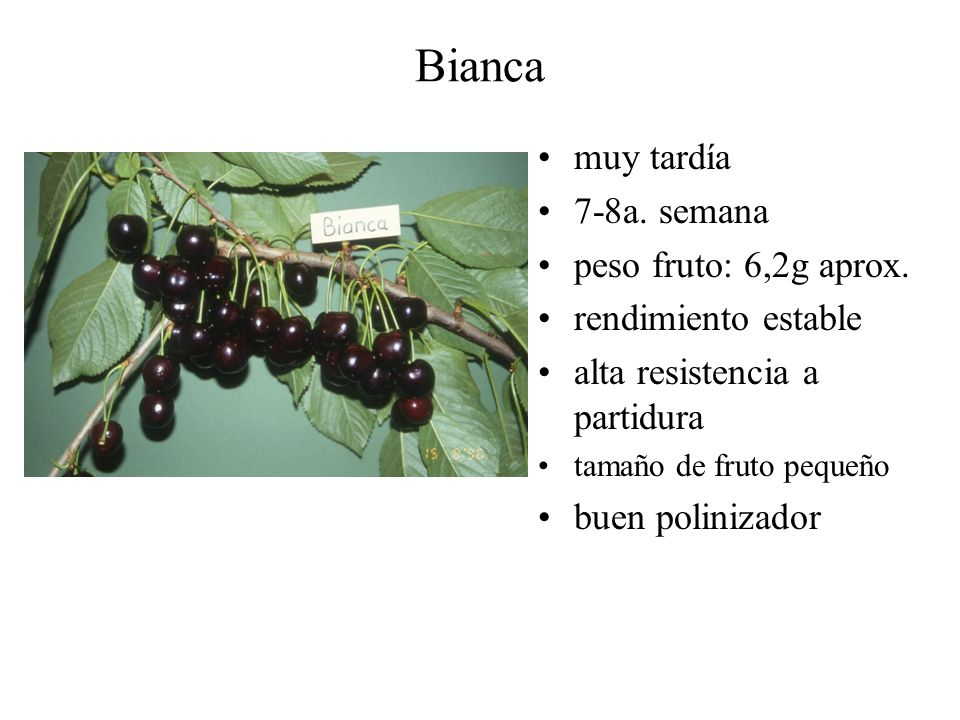 Bianca muy tardía 7-8a. semana peso fruto: 6,2g aprox. rendimiento estable alta resistencia a partidura tamaño de fruto pequeño buen polinizador