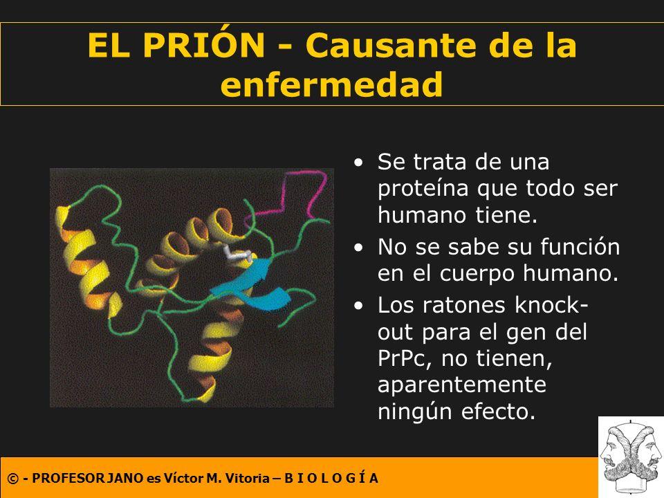 © - PROFESOR JANO es Víctor M. Vitoria – B I O L O G Í A EL PRIÓN - Causante de la enfermedad Se trata de una proteína que todo ser humano tiene. No s